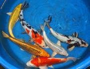 Рыбки для пруда )