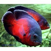 Астрoнотус красный