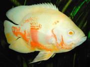 Acтpoнoтус альбинос