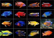 Аулуноакары 8 видов)
